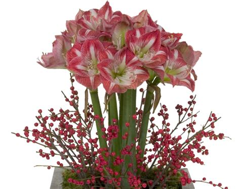 winter amaryllis all about flowers our blog