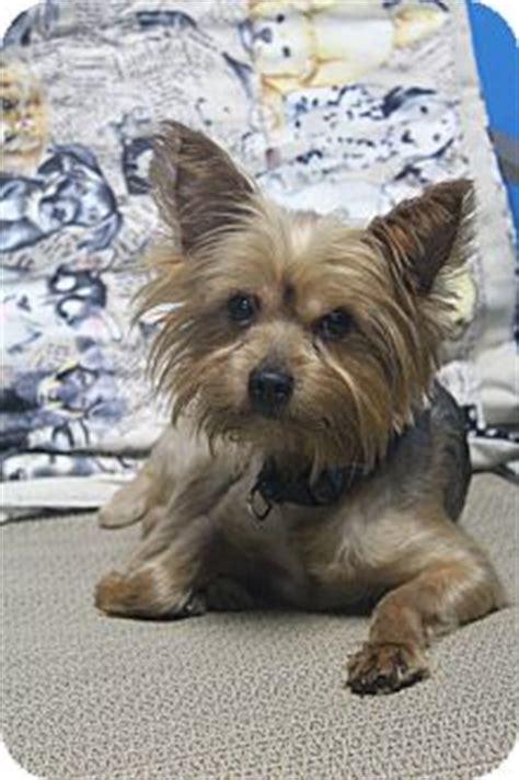 yorkie rescue va skeet adopted wytheville va yorkie terrier