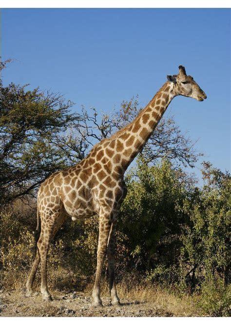 imagenes animales jirafa fotograf 237 a jirafa img 7294