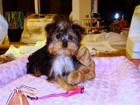 teacup yorkies for sale in augusta ga sweet and charming tiny teacup yorkie puppies for adoption augusta ga asnclassifieds