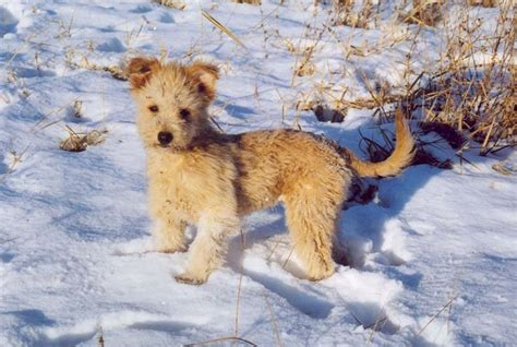 pumi puppies pumi vizsla hungary puppies for sale pictures pronouncing hungarian names