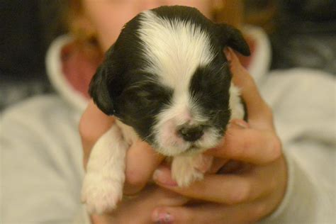 cavalier x shih tzu puppies for sale cavalier king charles spaniel x shih tzu puppies heywood greater manchester
