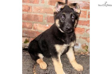 king german shepherd puppies for sale king german shepherd puppies breeds picture