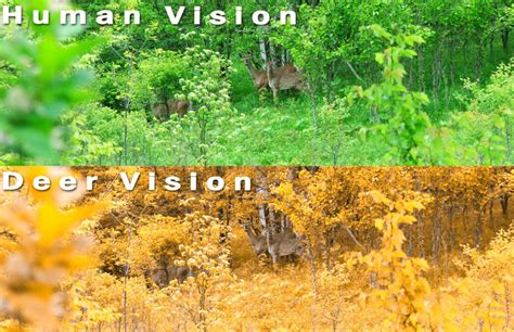 what colors can deer see can deer see color what colors can deer see nh