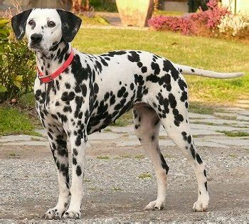 are dalmations dogs dalmatians what s about em what s bad about em