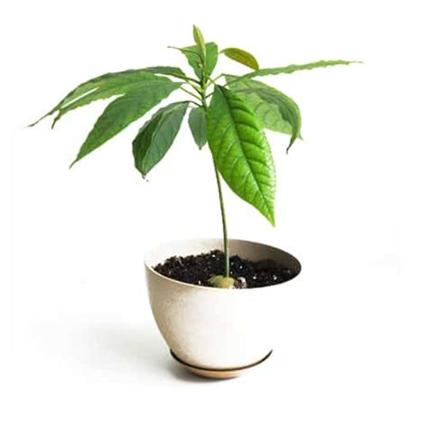 Bibit Buah Alpukat Tanpa Biji tanaman buah alpukat tanpa biji pusaka dunia
