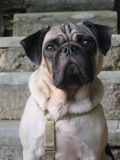 ontario pug breeders home page www pugpaws