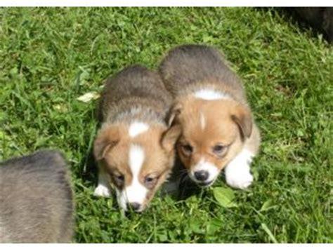 corgi puppies nyc pembroke corgi puppies in new york