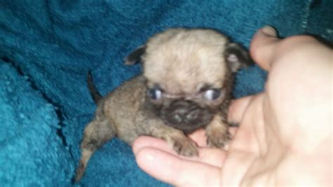 pug in the world the smallest pug chester cheshire pets4homes