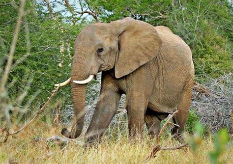 botanical name of elephant bush elephant