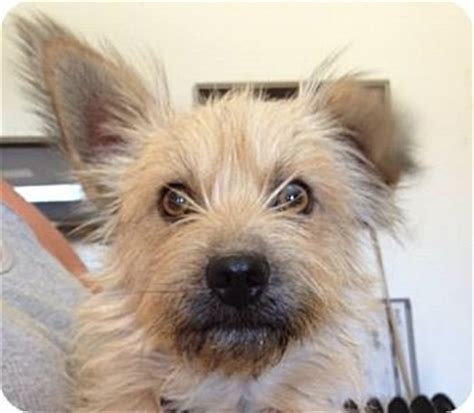 yorkie border terrier mix portland or border terrier yorkie terrier mix meet mocha a for