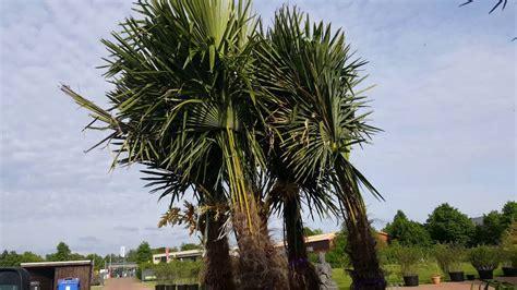 palme österreich palme winterfest machen hanfpalmen im palmen in