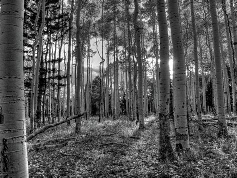white black forest black and white forest by weyers