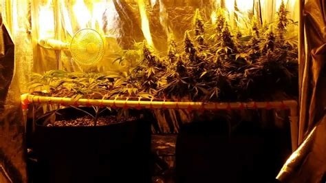 perpetual  grow tent ep day  flowering filling