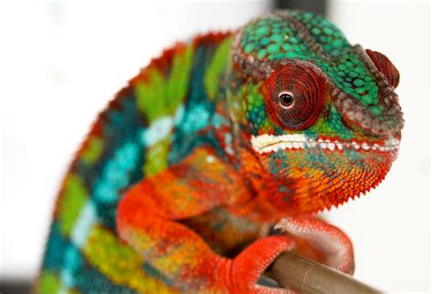 do all chameleons change color ask dr universe how does a chameleon change colors