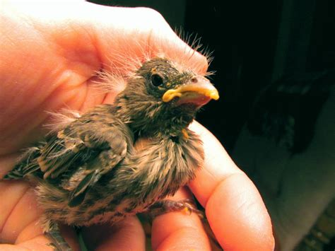 bird rubber st file 1st baby bird finch rehabber of the season jpg