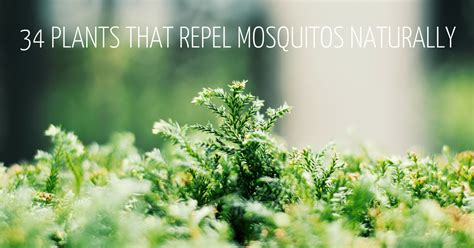 ultimate guide  plants  repel mosquitos naturally