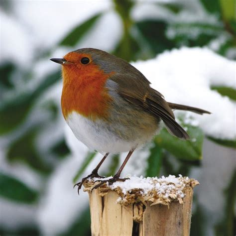 english robins in the snow his british heritage