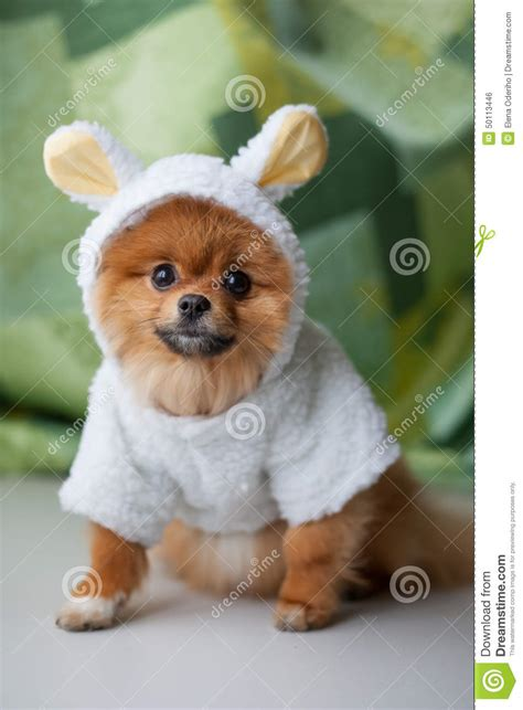 silly pomeranian pomeranian puppy dressed as stock photo image 50113446