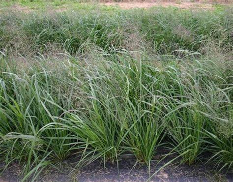 bear creek nursery grasses sedges botanical plant names