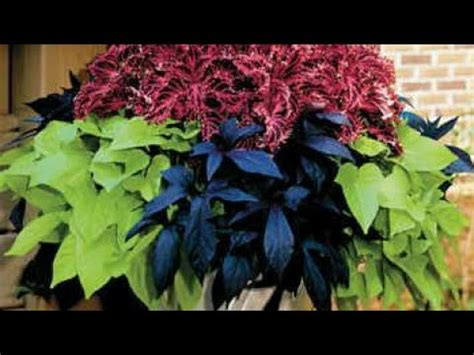 grow sweet potato vine easily youtube