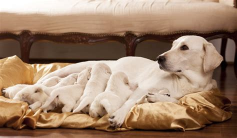 local puppy breeders how to spot labrador breeders
