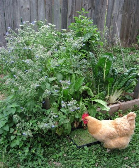 Backyard Chickens Diet 1523 Best Images About Chicken S Pig S Other Farm