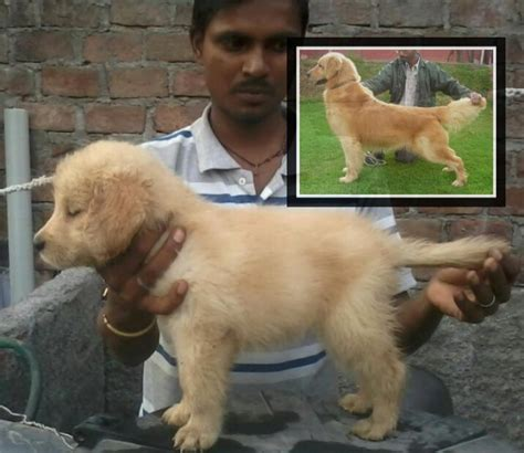 golden retriever puppies cost in india golden retriever puppies price in bhopal dogs in our photo