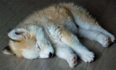 alaskan husky golden retriever mix alaskan husky and golden retriever mix so adorable i will puppies galore