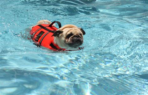 can pugs swim the pug tags owned by pugs
