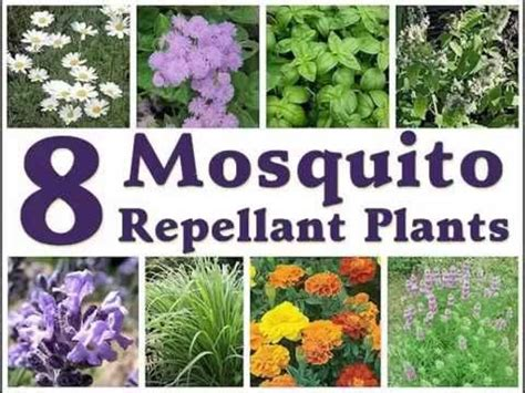 wild plants for mosquito repellant