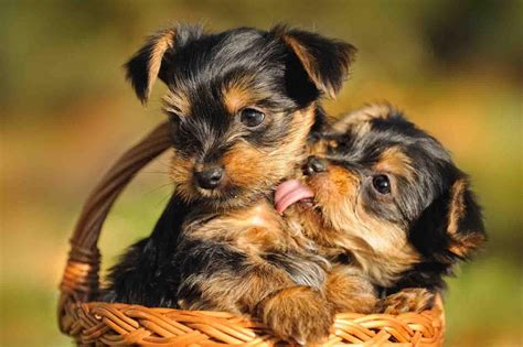 yorkie hair or fur teacup yorkie for sale with price and links for adoption