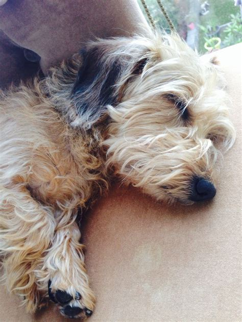 wire haired dogs 1000 ideas about wire haired dachshund on dachshund weenie dogs and