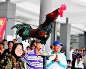 Vaksin Dan Vitamin Ayam Petelur cara ternak ayam petelur ayam ketawa ayam mutiara dan
