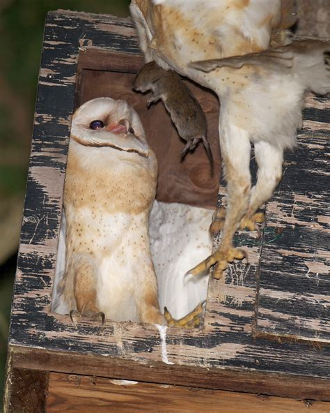 barn owls let you know birdnote