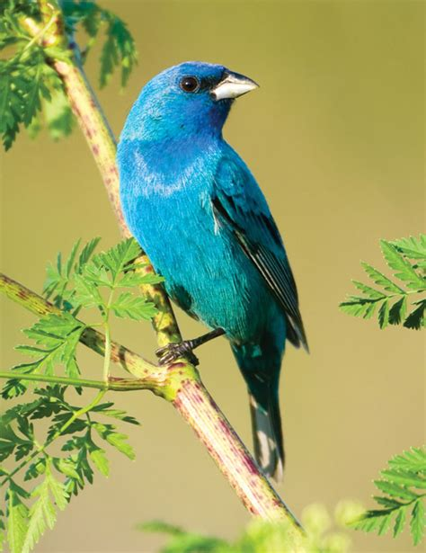 How To Attract Indigo Buntings To Your Backyard by Indigo Bunting Aspen Song Bird Food
