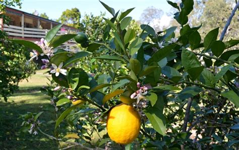 how much light does a lemon tree need 5 tips for how to grow a lot of lemons on just one tree