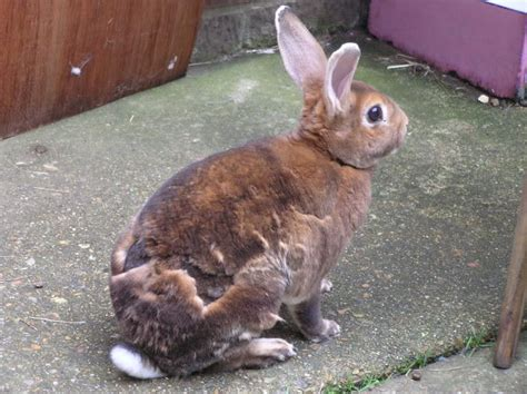 Shedding Bunny by Grooming Your Rabbit Can I Give Rabbit