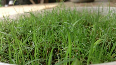 Biji Rumput Jepang pusat biji rumput jual biji rumput supplier biji
