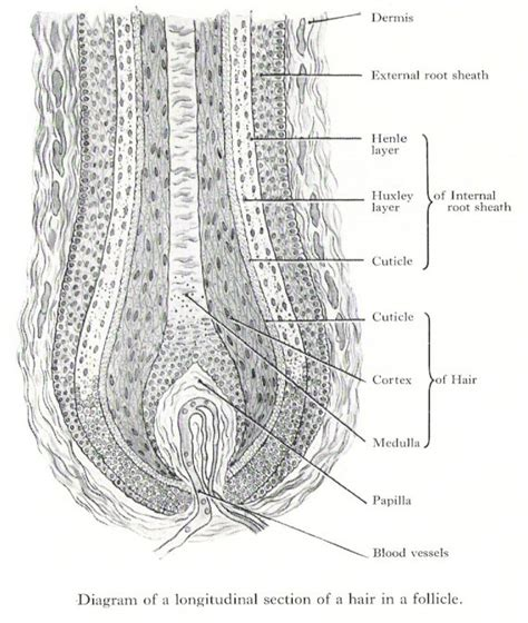 hair diagram scalp anatomy diagram scalp get free image about wiring