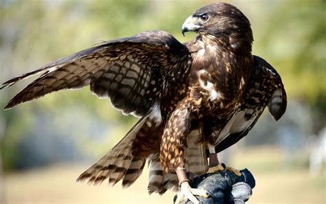 hawk facts about hawks passnownow
