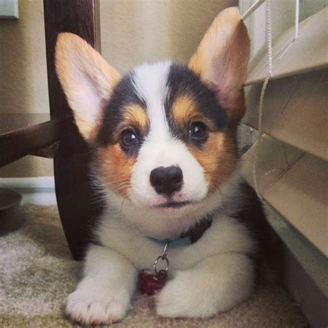 tri color corgi puppy tri color pembroke corgi puppy 8 weeks corgi we corgi