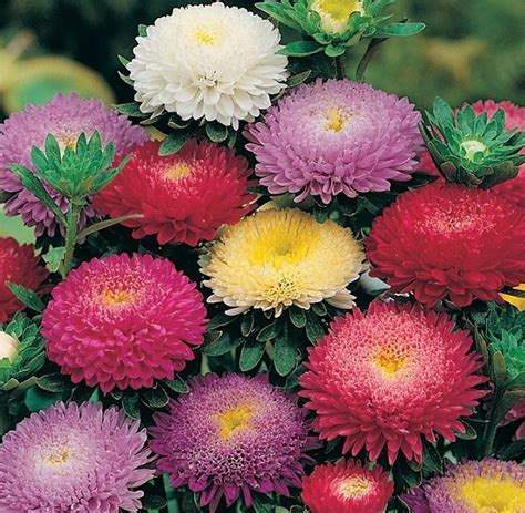 Benih Bunga Aster bibit bunga aster pompon