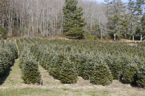 top 28 carolina christmas tree farm south carolina