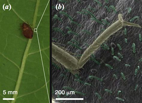 bean leaves bed bugs sticky fingered plant may hold the secret to snaring bed