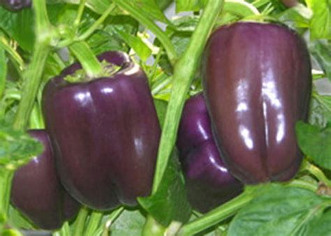Paprika Ungu prospek manis bisnis paprika di pasar dalam negeri dan pasar ekspor