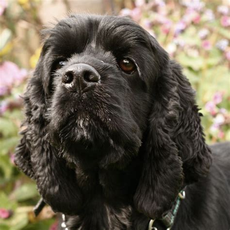 black cocker spaniel puppies did you common foods that poison dogs montony with