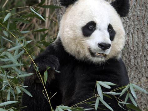 blue black and wight panda cute black and white panda colors photo 34704839 fanpop