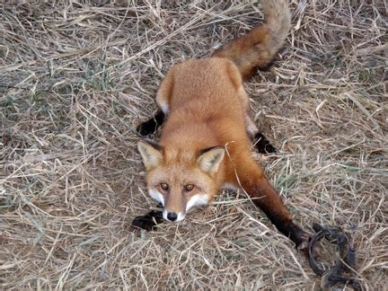 Get Rid Of Foxes In Backyard by Backyard Nuisance Animals Carolina Shooters Club