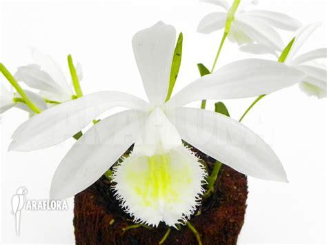 Panci Kalakat 40 Cm Orchid Limited 1 araflora flora more orchid pleione formosana white